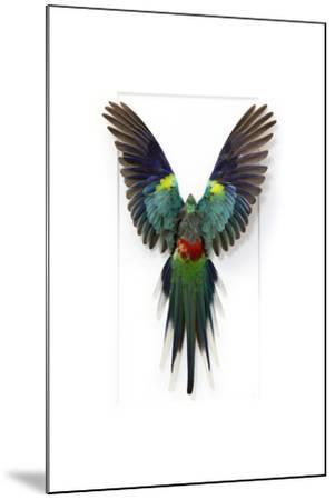 Many Colored Parakeet-Christopher Marley-Mounted Photographic Print