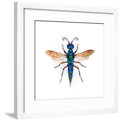 Borneo Wasp-Christopher Marley-Framed Photographic Print