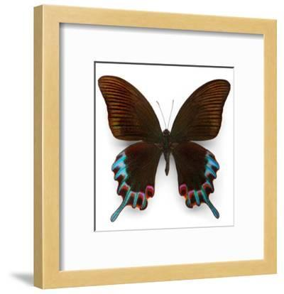 Hermelli Swallowtail-Christopher Marley-Framed Photographic Print