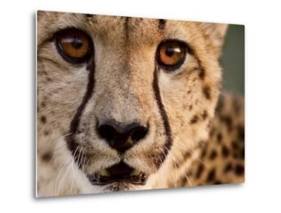 Close Up Portrait of a Cheetah.-Karine Aigner-Metal Print