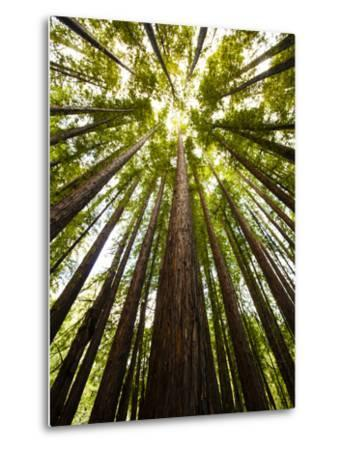 Trees in Mt. Tamalpais State Park, Adjacent to Muir Woods National Monument in California-Carlo Acenas-Metal Print