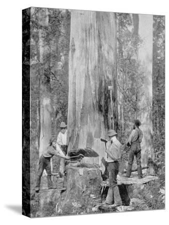 Felling a Blue-Gum Tree in Huon Forest, Tasmania, c.1900, from 'Under the Southern Cross -?-Australian Photographer-Stretched Canvas Print