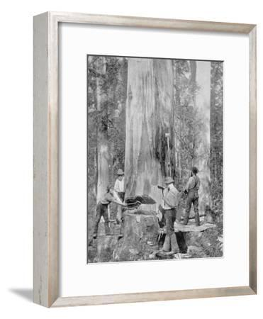 Felling a Blue-Gum Tree in Huon Forest, Tasmania, c.1900, from 'Under the Southern Cross -?-Australian Photographer-Framed Photographic Print