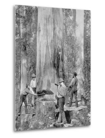 Felling a Blue-Gum Tree in Huon Forest, Tasmania, c.1900, from 'Under the Southern Cross -?-Australian Photographer-Metal Print