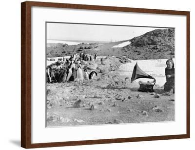 Penguins Listening to the Gramophone During Shackleton's 1907-09 Antarctic Expedition, from 'The…-English Photographer-Framed Photographic Print