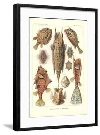 Ostracion - Teleosts, Pl.42 from 'Kunstformen Der Natur', Engraved by Adolf Giltsch, Published 1904-Ernst Haeckel-Framed Giclee Print