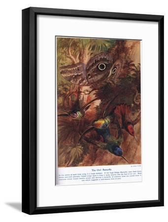 The Owl Butterfly, Illustration from 'Wonders of Land and Sea', Published by Cassell, London, 1914-Arthur Twidle-Framed Giclee Print