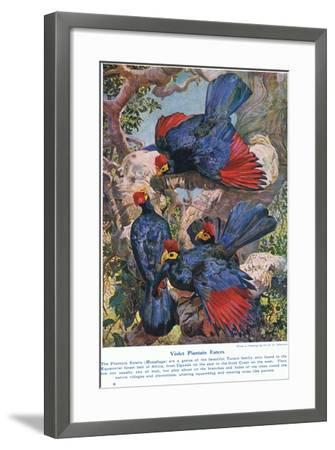 Violet Plantain Eaters, Illustration from 'Wonders of Lands and Sea', Published by Cassell,…-Harry Hamilton Johnston-Framed Giclee Print