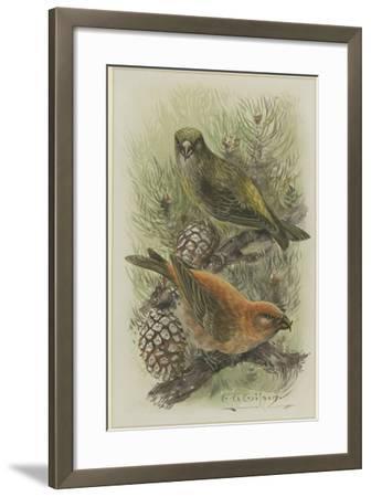 Crossbill, Illustration from 'A History of British Birds' by William Yarrell, c.1905-10-Edward Adrian Wilson-Framed Giclee Print