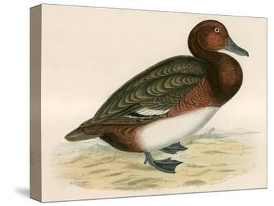Ferruginous Duck-Beverley R. Morris-Stretched Canvas Print