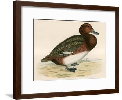 Ferruginous Duck-Beverley R. Morris-Framed Giclee Print