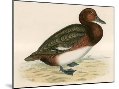 Ferruginous Duck-Beverley R. Morris-Mounted Giclee Print