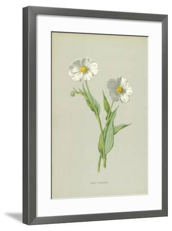 Snowy Crowfoot-Frederick Edward Hulme-Framed Giclee Print