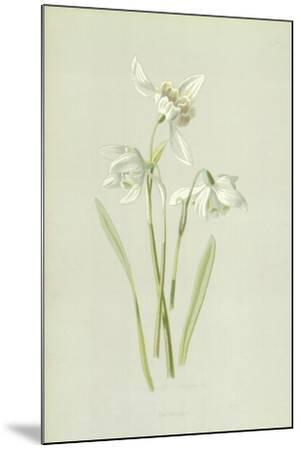 Snowdrop-Frederick Edward Hulme-Mounted Giclee Print
