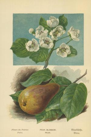 Pear-Blossom. Pear-William Henry James Boot-Framed Giclee Print