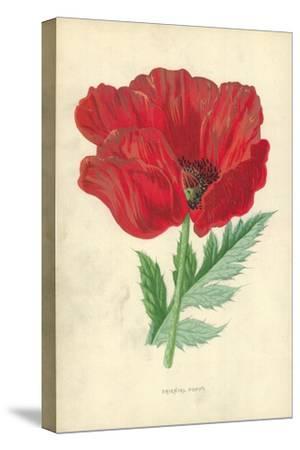 Oriental Poppy-Frederick Edward Hulme-Stretched Canvas Print