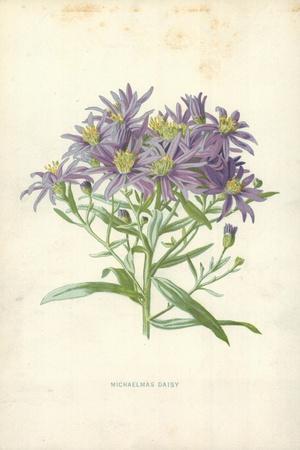 Michaelmas Daisy-Frederick Edward Hulme-Framed Giclee Print