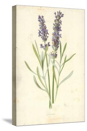 Lavender-Frederick Edward Hulme-Stretched Canvas Print
