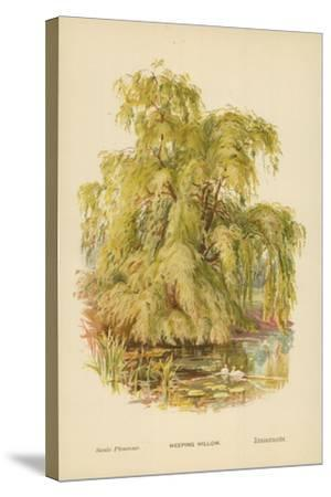 Weeping Willow-William Henry James Boot-Stretched Canvas Print