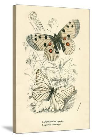 Butterflies-English School-Stretched Canvas Print