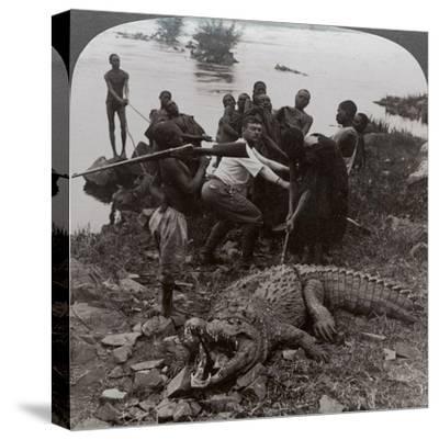 Huge Crocodile Just Landed - Beside the Upper Nile, East Africa, c.1905-Underwood & Underwood-Stretched Canvas Print