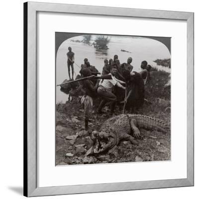 Huge Crocodile Just Landed - Beside the Upper Nile, East Africa, c.1905-Underwood & Underwood-Framed Photographic Print