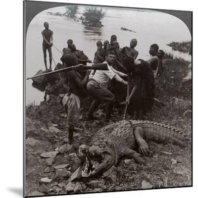 Huge Crocodile Just Landed - Beside the Upper Nile, East Africa, c.1905-Underwood & Underwood-Mounted Photographic Print