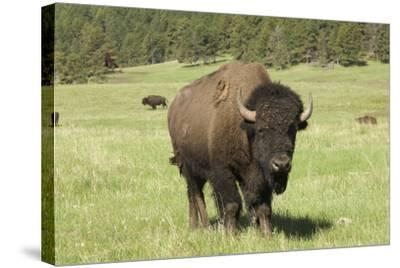 Free-Ranging Bison Bull on the Grasslands of Custer State Park in the Black Hills, South Dakota--Stretched Canvas Print