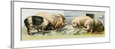 Domesticated Pigs--Framed Giclee Print