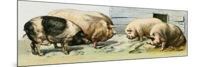 Domesticated Pigs--Mounted Giclee Print