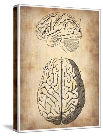 Vintage Brain Anatomy-NaxArt-Stretched Canvas Print
