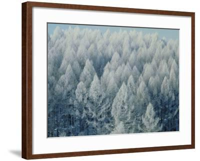 Trees Biei-Cho Hokkaido--Framed Photographic Print