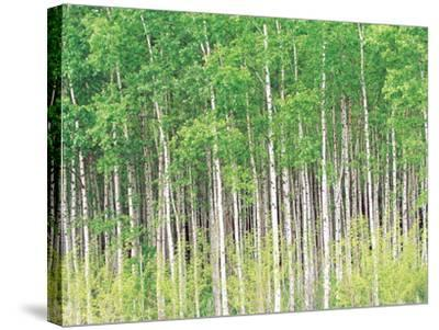 Aspen Trees, View From Below--Stretched Canvas Print