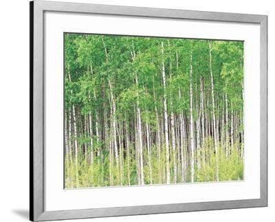Aspen Trees, View From Below--Framed Photographic Print