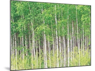 Aspen Trees, View From Below--Mounted Photographic Print