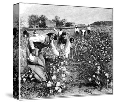 Cotton Industry, Early 20th Century-Science Photo Library-Stretched Canvas Print