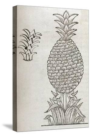 Pineapple, 16th Century Artwork-Middle Temple Library-Stretched Canvas Print
