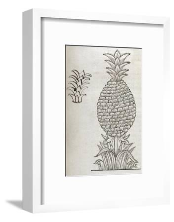 Pineapple, 16th Century Artwork-Middle Temple Library-Framed Giclee Print