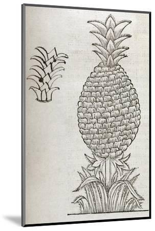 Pineapple, 16th Century Artwork-Middle Temple Library-Mounted Giclee Print