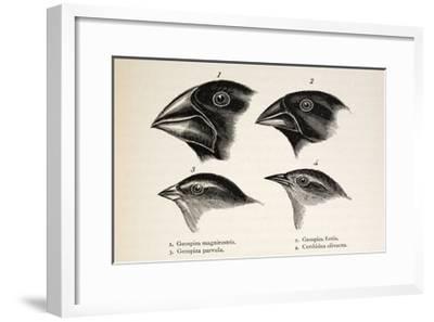Darwin's Galapagos Finches-Stewart Stewart-Framed Giclee Print