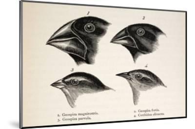 Darwin's Galapagos Finches-Stewart Stewart-Mounted Giclee Print