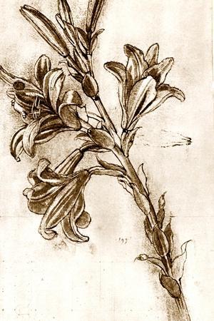 Leonardo Da Vinci's Lilies.-Sheila Terry-Stretched Canvas Print