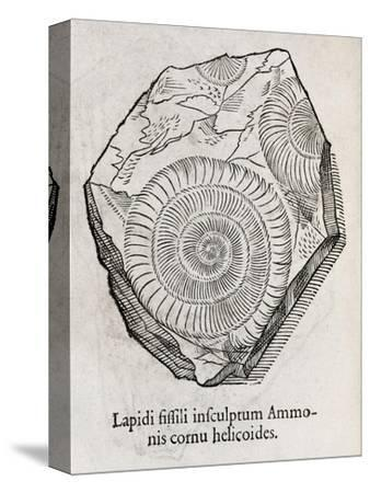 Ammonite Fossil, 16th Century-Middle Temple Library-Stretched Canvas Print
