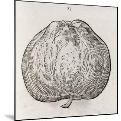 Apple, 16th Century-Middle Temple Library-Mounted Giclee Print