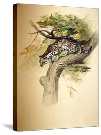 Ocelot, 1851-Joseph Wolf-Stretched Canvas Print