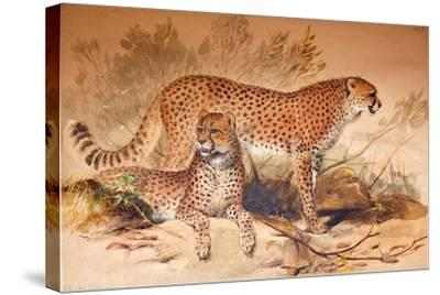 Cheetah, 1851-52-Joseph Wolf-Stretched Canvas Print