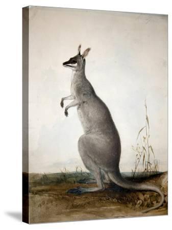 Macropus Parryi, 1834-Edward Lear-Stretched Canvas Print