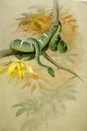 Green Boa-Joseph Wolf-Stretched Canvas Print