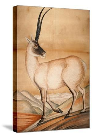 Chiru, 1840-Brian Houghton Hodgson-Stretched Canvas Print