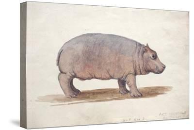 Obaysch, C.1850-Joseph Wolf-Stretched Canvas Print